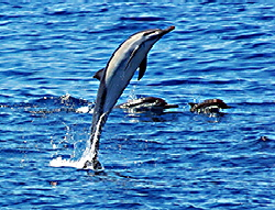 Super-Great-leaping-dolphin-C